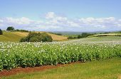 Field of Poppies, Tasmania, Australia