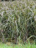 Black Glutinous Rice Plantation In Thailand