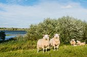Earmarked Sheep On A Sunny Day At The End Of The Summer Season