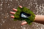 stock photo of green algae  - Silver shell on childs hand and green alga - JPG
