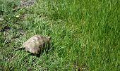 Turtle - Testudo graeca
