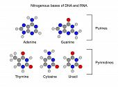 Purine And Pyrimidine Nitrogenous Bases - Structural Chemical Formulas