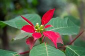 picture of poinsettia  - beautiful - JPG