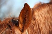 Close Up Of Chectnut Horse Ear