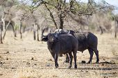 Two big buffaloes in africa