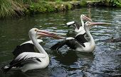 Group Of Pelicans In A Pond In Park