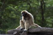 Lar Gibbon On Tree.