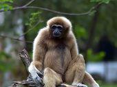 Lar Gibbon.