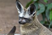 Otocyon Megalotis, Bat-eared Fox.