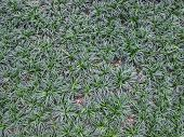 stock photo of garden snake  - Mini Mondo Grass or Snake - JPG