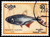 Vintage  Postage Stamp. Hemigrammus Caudovittatus.