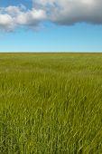Wheat Field With Sky In Orkney. Scotland. Uk