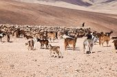image of canary  - herd of goats on Fuerteventura Canary Islands - JPG