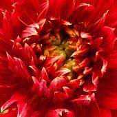 red dahlia background