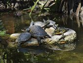 Yellow-bellied Slider Turtles Basking