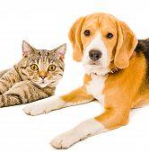 Beagle dog and cat Scottish Straight