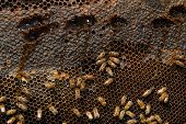 pic of beehive  - A close up view of working bees in a beehive producing honey on honey cells - JPG