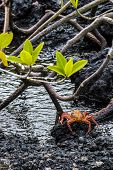 picture of crab  - Sally Lightfoot Crab ore Red cliff crab from Galapagos Islands Ecuador - JPG