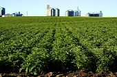 Potato Feild