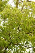 Green Leaves Acacia Tree As A Nature Backgorund