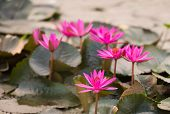 Pink Color Fresh Lotus Blossom