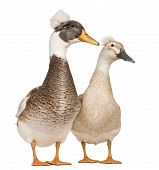 foto of crested duck  - Male and female Crested Ducks 3 years old standing in front of white background - JPG