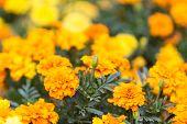Yellow Marigold Flowers,tagetes Erecta.