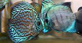 Peixes discus turquesa azul