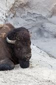Resting Bison Close Up