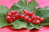 Red Currants With Green Leafs