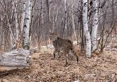 stock photo of bobcat  - the bobcat is the wood looking back - JPG