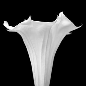 pic of angel-trumpet  - Datura - JPG