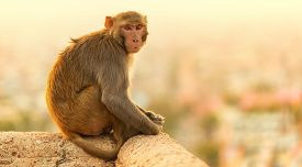 picture of macaque  - Macaque monkey at sunset Monkey Temple Jaipur - JPG