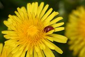Closeup Of A Yellow Dandalion With A Ladybug On It.