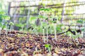 picture of tamarind  - Young tamarinds sprout growing in the soil - JPG