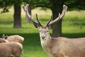 image of antlers  - A proud red deer stag displays its antlers - JPG