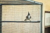 picture of bulbul  - Red - JPG