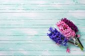 picture of violet  - Background with three fresh pink violet hyacinths on turquoise wooden planks - JPG