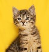 stock photo of yellow tabby  - Tabby nice  kitten sitting on yellow background - JPG