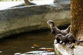 Постер, плакат: Small clawed Otter