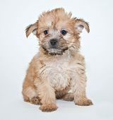 foto of poo  - Sweet little Yorkie Poo puppy sitting on a white background - JPG