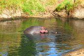 foto of hippopotamus  - Hippopotamus yawning in the water Masai Mara Kenya - JPG