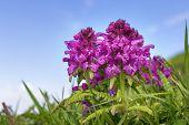 picture of bavaria  - Wild flowers Pyramidenorchis Anacamptis pyramidalisin the Alps in Bavaria Germany - JPG