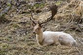 stock photo of bambi  - Albino buck deer sits in the forest - JPG