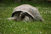 picture of tortoise  - Santa Cruz Galapagos giant tortoise  - JPG