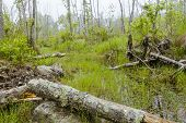 foto of swamps  - Foggy overgrown swamp or marsh woods early in the morning - JPG