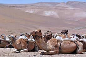 stock photo of camel  - Convoy of Camels rest during a desert voyage in the Judaean Desert Israel - JPG