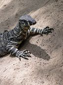 Common Goanna