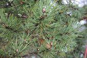 Pine-tree Branch