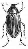 Water Scavenger Beetle or Hydrophilus spp. Hydrophilus is one genus (comprised of 48 different speci poster